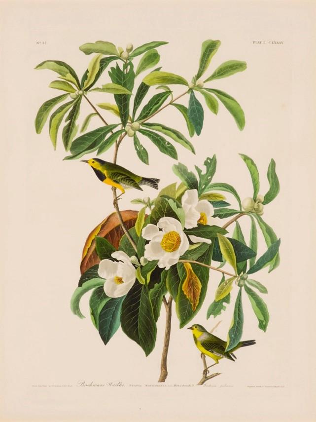 Ecco nella mirabile rappresentazione di Audobon, la Vermivora di Bachman (Bachman's Warbler),  oggi estinta.  Ahimè, non è l'unica pagina di Birds of America trasformata in un annuncio mortuario.